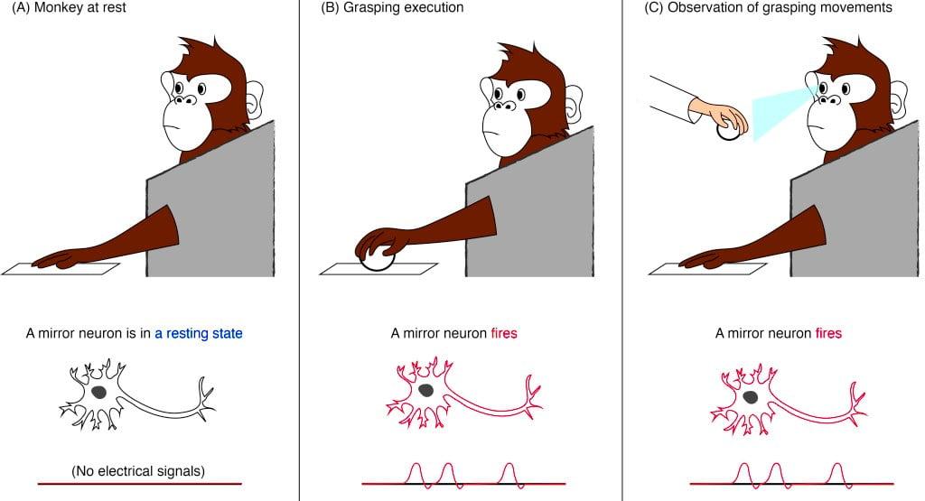Figura: Neurônios-espelho em ação.  Um neurônio-espelho dispara um pulso elétrico, ou potencial de ação, quando o macaco observa ou executa uma ação específica.  Nesse caso, o neurônio espelho responde a ações compreensivas.  O gráfico na parte inferior mostra como seriam os potenciais de ação (cada um representado como um pico) quando medidos com um eletrodo, conforme usado pelos pesquisadores.